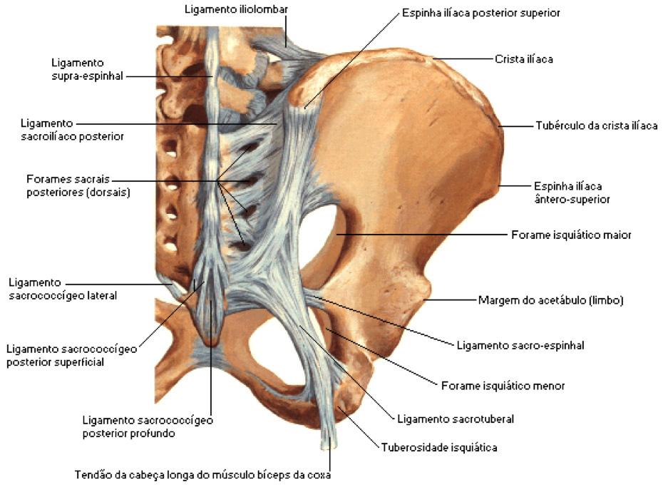 Fig. 1- Vista posterior da pelve. Visualização dos espaços glúteos da incisura isquiática maior e menor.