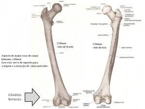 Aspecto do maior osso do corpo humano, o fêmur.