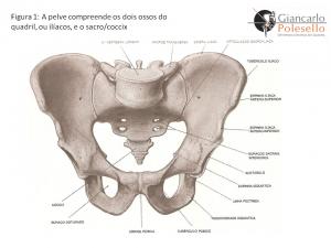A pelve compreende os dois ossos do quadril, ou ilíacos, e o sacro/coccix